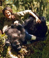 Dian Fossey at play with her Rwanda Mountain Gorillas
