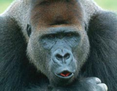 Eastern Lowlands Gorilla