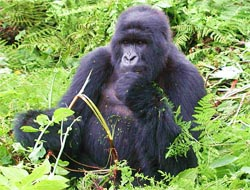 Rwanda Mountain Gorilla feeding in the Virunga forests